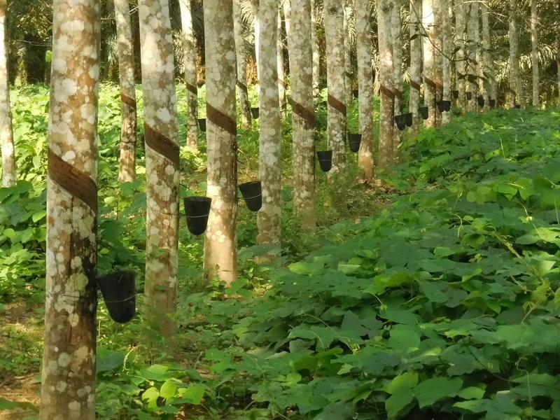 caoutchouc-deforestation-et-petits-planteurs-la-selection-genomique-de-l-hevea-a-la-rescousse_lightbox.jpg