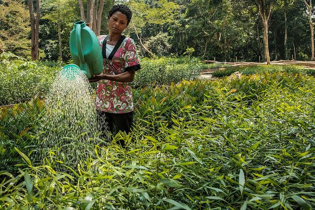 Plant nursery in Yangambi, DRC. Photo by Axel Fassio/CIFOR