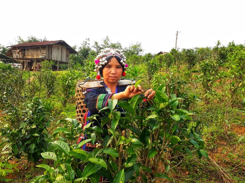 Bokeo Tea Farmer