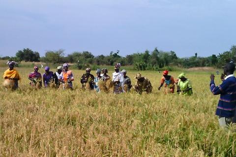 parcelles de riz au sénégal