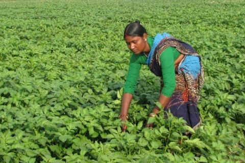 AUSAID-PepsiCo partnershipis targeting femalefarmers like Korato demonstrate that empowering wom