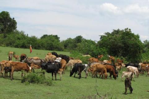 Maasai herders graze their animals at Paka Nyeusi along the Trans Mara West and Kuria East border, July 12, 2012. Photo/ANGWENYI GICHANA