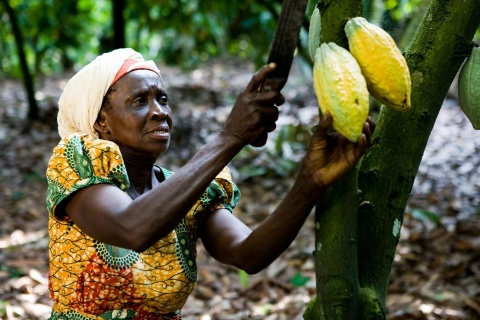 More sustainable cocoa with the Asase project in Ghana