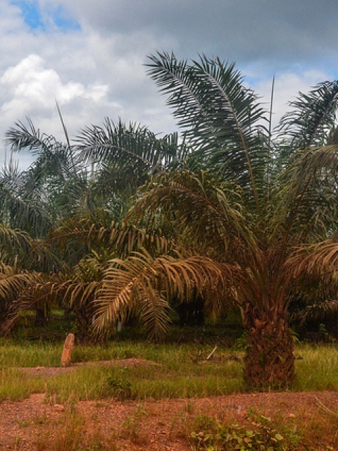 Ghana palm oil development, taken on 11 September 2013 in Ghana near Amantia Asuotwene. Photo by Jbdodane.